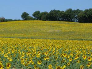 Girasoles del Gers (Francia)