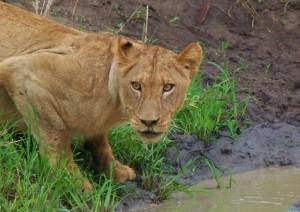 Leona en el Parque Kruger de Sudáfrica