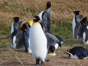 Pingüinos Rey en Tierra del Fuego