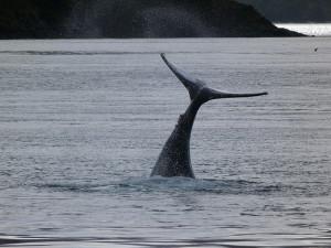Aleta caudal de una ballena jorobada