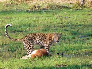 Leopardo en Moremi (Botswana)