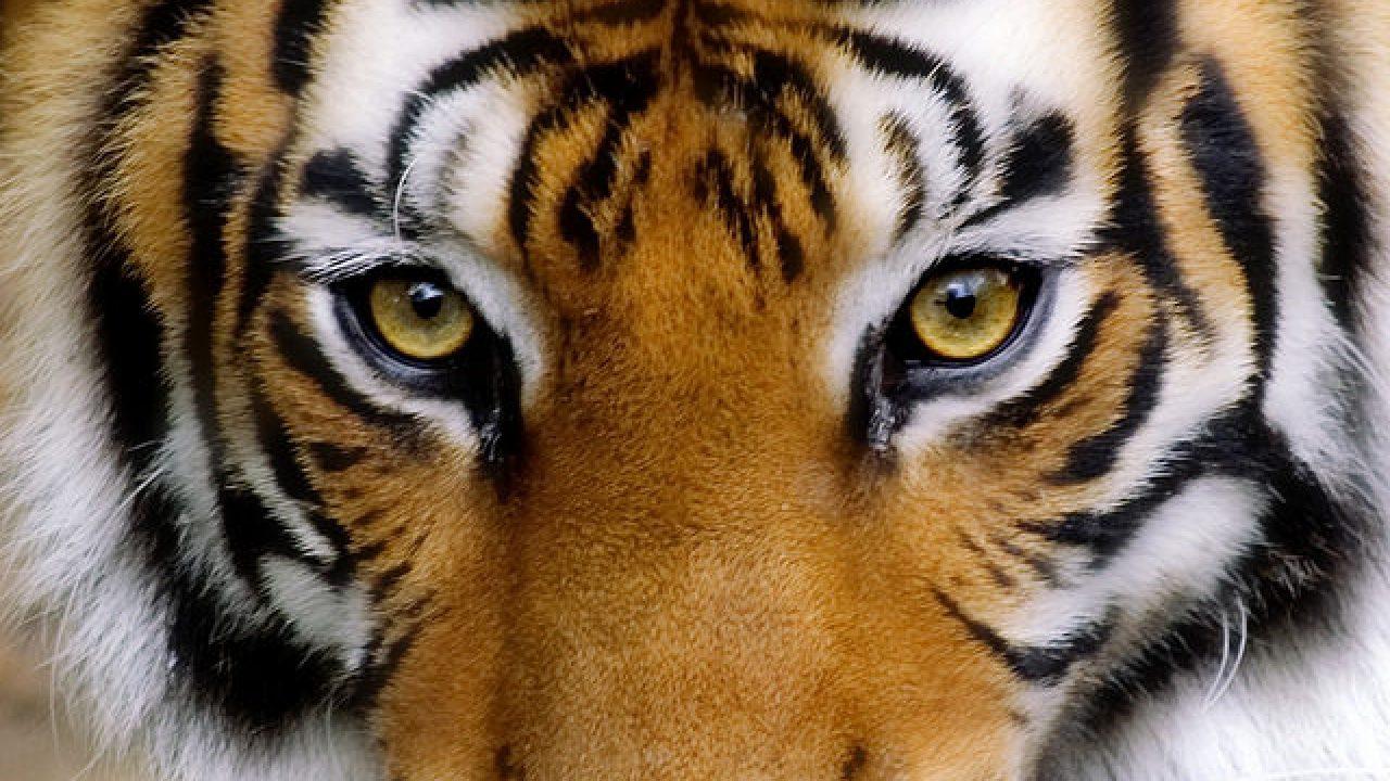 En busca de la mirada del tigre de Bengala