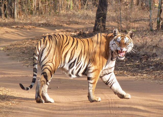 La mirada del tigre de Bengala en el corazón de la India