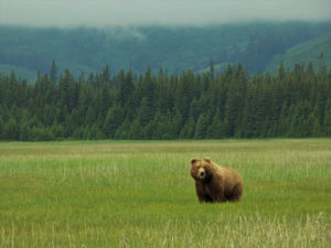 Oso fotografiado durante nuestro viaje a Alaska en Autocaravana