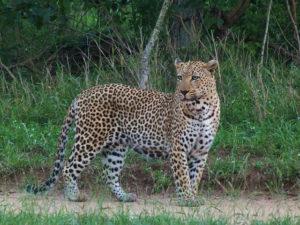 Leopardo en el Parque Kruger de Sudáfrica