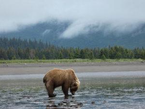 Oso en Alaska