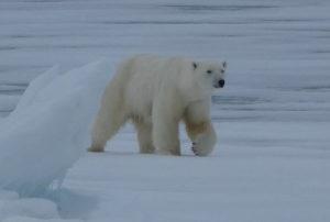 Oso polar del viaje a Svalbard en barco (Crucero Ártico con Pangea)