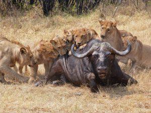 Leones cazando un búfalo