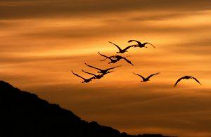 Grullas al amanecer en Gallocanta