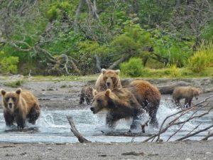 Osos en el Lago Kuril (Kamchatka, Rusia)