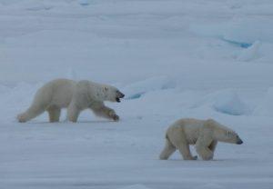 Osos polares en Svalbard. ¿Te vienes de viaje conmigo?