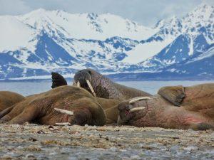 Morsas de Svalbard (crucero polar)