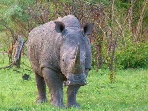 Ver rinocerontes es una de las mejores experiencias en la naturaleza para ver animales salvajes